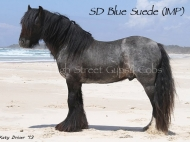 Gypsy Cob, Gypsy horse, for sale, Gypsy Vanner, Gypsy Horse, Blue Roan Stallion at Stud Australia, at High Street Gypsy Cobs Australia. SD Blue Suede Imp UK.