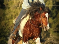 Gypsy Cob for sale Australia, Gypsy cob,  Gypsy Horse for sale, Gypsy Vanner for sale at High Street Gypsy Cobs, Stallion at stud, ITS Boester Gypsy Cob. Gypsy Horse Stallion. Gypsy Cob Stallion at stud Australia  at High Street Gypsy Cobs ITS Boester