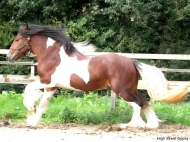 Gypsy Cob for sale, Gypsy cob, Gypsy Horse for sale, Gypsy Vanner for sale at High Street Gypsy Cobs. Gypsy Cob, Gypsy Horse Stallion. Gypsy Cob Stallion at stud Australia  at High Street Gypsy CobsITS Boester