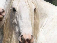 Aglish Gypsy Cob  / Gypsy Horse at High Street Gypsy Cobs Australia . Gypsy Vanner, Irish Tinker.