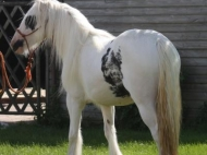 Gypsy Cob for sale,Gypsy cob, Gypsy Horse for sale, Gypsy Vanner for sale at High Street Gypsy Cobs, Gypsy Horse.  Gypsy Cob at High Street Gypsy Cobs Australia. Odonata of High Street.