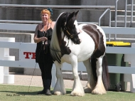 Sweetcheeks of High Street Gypsy Cobs at Equitana Sydney, Gypsy Cob Mare, Gypsy Horse mare, Gypsy Vanner mare, Pinto at High Street Gypsy Cobs