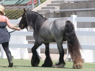 Blue roan Gypsy Cob Stallion at Equitana Sydney , Blue Roan Gypsy Horse Stallion at stud , Blue roan Gypsy Vanner at High Street Gypsy Cobs Australia.