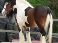 Gypsy Cob, ITS O\'Malley - Fair ladys sire (dec)