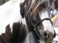 Gypsy Horse. Gypsy Cob at High Street Gypsy Cobs Australia.  High Streets Patience
