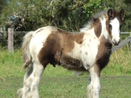 Gypsy Cob Colt, Gypsy Horse colt, High Street\'s The Peaceful Warrior of High Street Gypsy Cobs, Aus