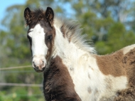 Gypsy Cob Colt, Gypsy Horse colt, High Street\'s The Peaceful Warrior of High Street Gypsy Cobs, Australia