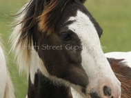 Gypsy Cob Colt, Gypsy Horse colt, Gypsy Vanner pinto colt, High Street\'s The Peaceful Warrior of High Street Gypsy Cobs, Aus