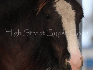 Gypsy Cob. Gypsy Horse, foal, black Gypsy Vanner, Horseshoe\'s Black Magic Filly at High Street Gypsy Cobs. Gypsy Cob, Gypsy horse, Irish Tinker, Gypsy vanner foal.