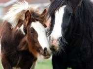 Gypsy Cob, Gypsy Vanner, Gypsy Horse, Skewbald, at High Street Gypsy Cobs