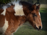 Gypsy Cob for sale Australia, Gypsy Horse, gypsy vanner, High Street's Golden trinket, filly foal at High Street Gypsy Cobs