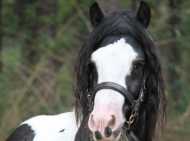 Gypsy Cob for sale, Gypsy cob, Gypsy Horse for sale, Gypsy Vanner for sale at High Street Gypsy Cobs. Gypsy Cob. Gypsy Horse Stallion. Gypsy Cob Stallion at stud Australia. - Champion Pinto Stallion Queensland Royal Show 2012
