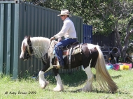 Gypsy Cob for sale, Gypsy Horse for sale, Gypsy Vanner for sale at High Street Gypsy Cobs. Primrose of High Street Gypsy Cobs Imp UK, Gypsy Cob mare Australia for sale at High Street Gypsy Cobs Gypsy Vanner, Irish Tinker. Gypsy Horse