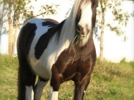 Gypsy Rose Leigh, daughter of our Sykes. Gypsy horse Gypsy Vanner, Irish Tinker.