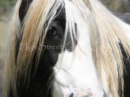 Gypsy Cob for sale, Gypsy cob, Gypsy Horse for sale, Gypsy Vanner for sale at High Street Gypsy Cobs The Sykes Filly purebred Gypsy Cob for sale Gypsy Cob  mare at High Street Gypsy Cobs . Gypsy horse Gypsy Vanner, Irish Tinker.