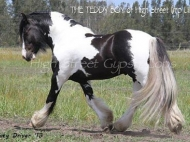 Gypsy Cob for sale, Gypsy cob, Gypsy Horse for sale, Gypsy Vanner for sale at High Street Gypsy Cobs. Gypsy Cob. Gypsy Horse stallion. Gypsy Cob Stallion. High Street Gypsy Cobs. GP Teddy Boy in the ring