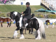 Gypsy Cob stallion, Pinto Gypsy Horse, Gypsy Vanner, dressage, performance horse, Gold Coast Show, Show Jump, Stallion at Stud, The Painted Warrior of High Street Gypsy Cobs.