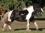 Purebred Gypsy Cob, Gypsy Horse, Irish Tinker Horse at High Street Gypsy Cobs . Little Alice