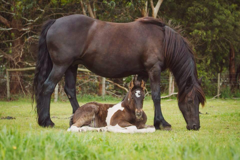 2013 foal by ITS BOESTER & Trina, Friesian WB Mare. Photo by Peninsula Pix