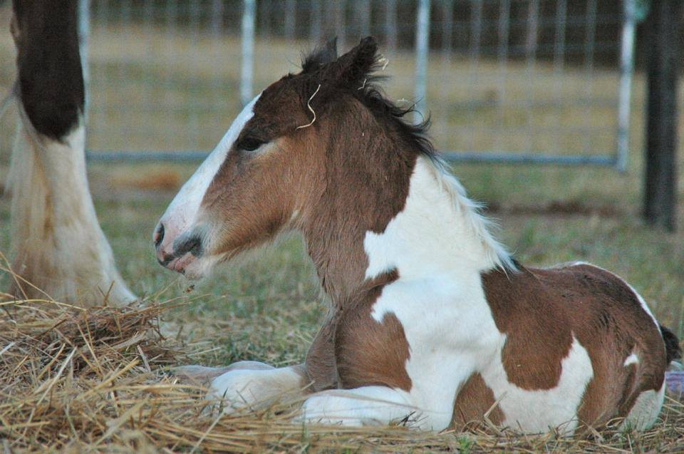 2013 Drum Colt foal by ITS BOESTER & Roberscon Isobel owned by Ardent.