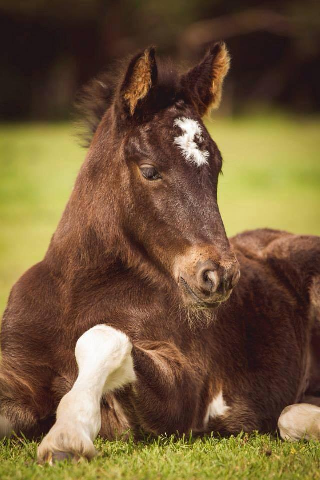 2013 foal by ITS BOESTER & Friesian WB mare. Photo by Peninsula Pix