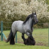 GRAND SIRE: SD Black Jack is the sire to our magnificent SD Blue Suede Imp UK