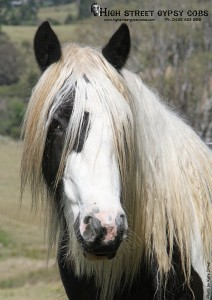 Gypsy Cob for sale Australia, Gypsy Horse, Black and white pinto horse at High Street Gypsy Cobs