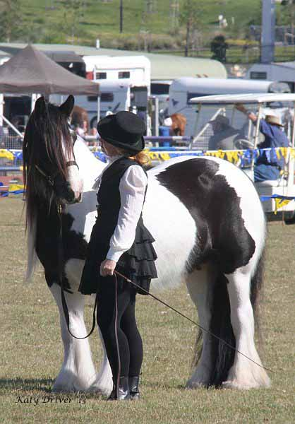 The relaxed nature of the Gypsy Cob makes them a pleasure to take out & show.