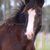 High Street's Horseshoe's Black Magic Filly