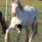 Gypsy Cob, Gypsy Vanner, Gypsy Horse for sale at High Street Gypsy Cobs