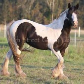 Gypsy cob for sale