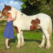drum horse stallion, australia, drum horse at stud, drum horse for sale at high street gypsy cobs, heavy horse,
