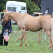 For sale in foal o ITS SMOKEY