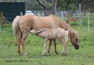 Blondie and her part bred GYpsy cob foal