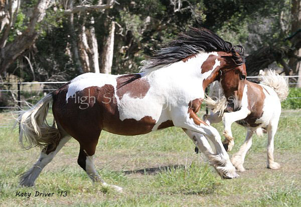 Drum Horse, Gypsy Cob for sale at High Street Gypsy Cobs