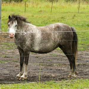 Kenda Park Felicity is a Welsh Mountain Pony for sale in foal to THE MATCHMAKER