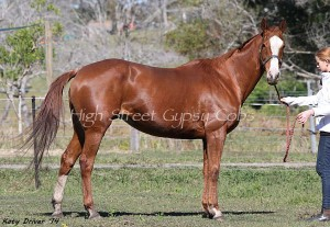 FOR SALE - Mare in foal package with free return service via AI ( mare owner pays collection & shipping ) or live cover if you live locally to us.  Chessie is a quality 13yo TB Broodie for sale in foal to THE TEDDY BOY purebred Imported Gypsy Cob.  16.2hh, 13yo, chestnut, well mannered proven broodmare.  Chesies foaled us a beautiful big black and white tobiano filly last season without a hitch from ITS Boester ( Imported Gypsy Stallion ) and she can be viewed on our website. She is a doting mum and a great producer.  She is a polite and sweet mare with no vices, in good health, vax for tet & hendra. Up to date with worming & trimming.  Chessie will be sold scanned in foal, with service certificate & free return service.  Priced at $2200 plus GST. No payment plans.  PHONE : 0433 453998  www.highstreetgypsycobs.com