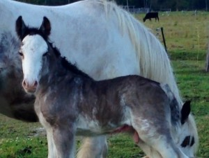 Rocking Horse colt, Gypsy Cob for sale, at High Street Gypsy Cob