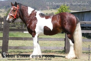 gypsy cob stallion at stud, gypsy horse, gypsy banner, gypsy cob for sale australia