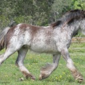 Gypsy Cob for sale at High TSreet Gypsy Cobs Australia, Gypsy Horse, Gypsy Vanner, Blagdon, blue roan, coloured cob,