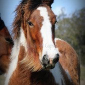 drum horse, drum filly for sale, drum horse australia at high street gypsy cobs