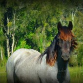 gypsy cob for sale australia, blu roan gypsy van for sale, High Streets Blue Velvet, Gypsy Horse Australia, High Street Gypsy Cobs, Filly, Yearling.