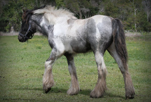 High Streets Blue Jay, Gypsy Cob for sale at High Street Gypsy Cobs Australia, Gypsy Horse, Gypsy Vanner, blue roan tobiano, coloured cob,