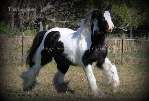 gypsy cob for sale Australia, The Lioness of High Street, gypsy vanner for sale, gypsy horse, pinto mare,