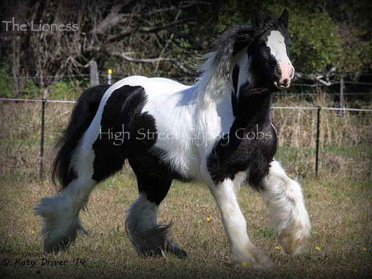 gypsy cob for sale Australia, The Lioness of High Street, gypsy vanner for sale, gypsy horse, pinto mare,gypsy cob for sale, gypsy horse for sale, drum horse australia, blue roan tobiano colt, gypsy vanner at High Street Gypsy Cobs Australia, heavy horse for sale,  blue roan pinto, draft horse, foal, colt, gypsy cob stallion at stud, foal for sale,