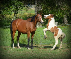 mare in foal to Gypsy Horse, Gypsy cob part bred for sale, at High Street Gypsy Cobs