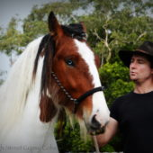 drum horse australia at high street gypsy cobs