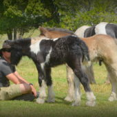 blue roan gypsy cob, high streets the blue lioness, gypsy cob for sale australia, gypsy vanner,