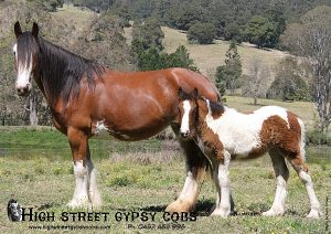 gypsy cob for sale, the lioness, ypsy vanner, high street gypsy cobs australia, gypsy horse