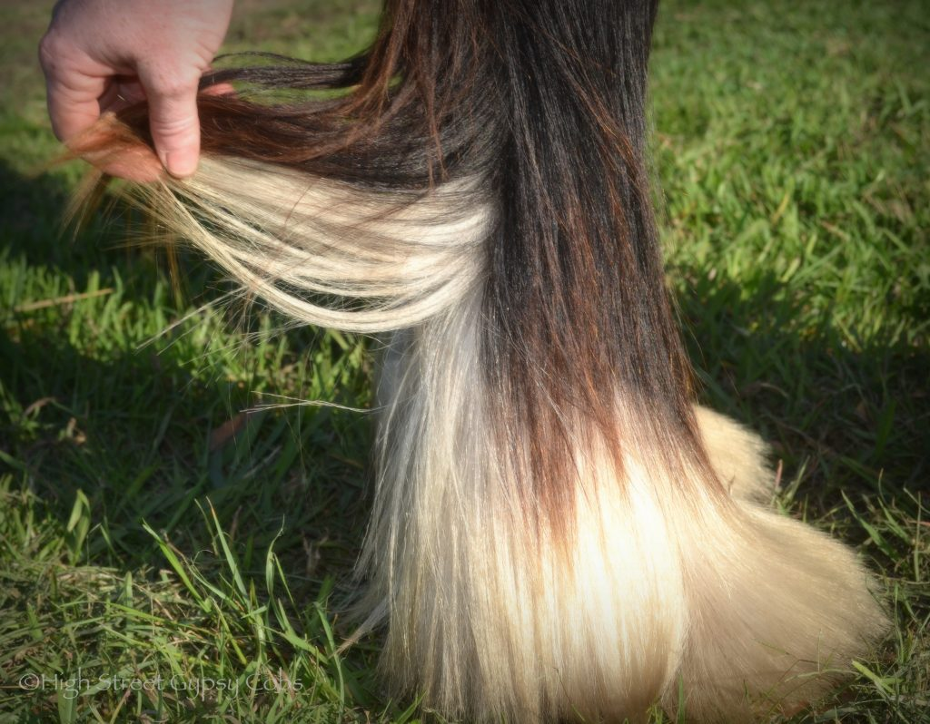 High Street's Horseshoe's The Black Madonna For Sale, gypsy cob for sale australia, high street gypsy cobs, heavy horses australia, gypsy vanner, Irish Tinker, Romany Cob,